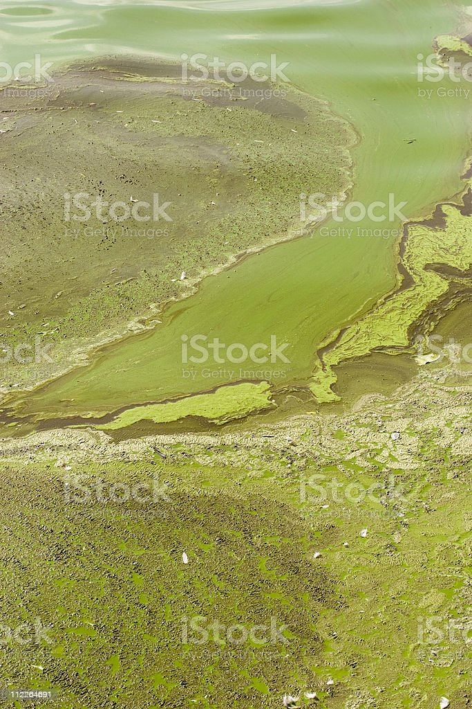 Massive algal bloom royalty-free stock photo