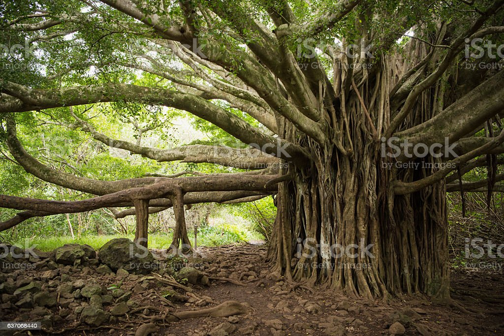 Massive Banaon Tree in Maui stock photo