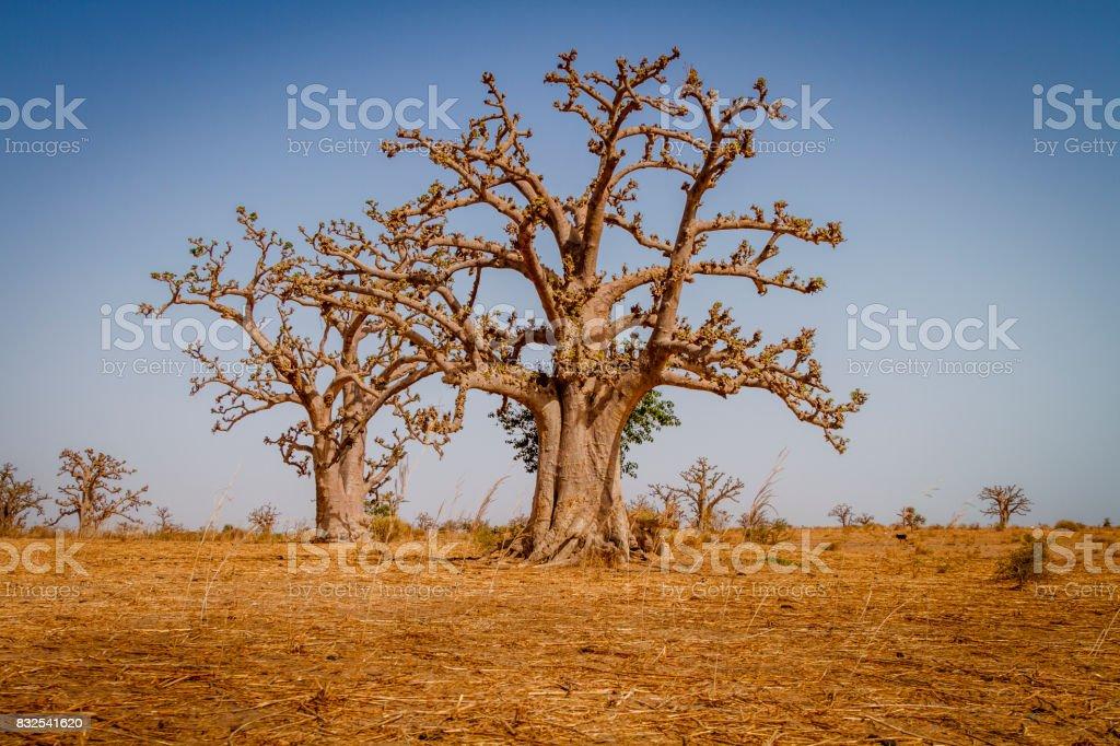 Massiva baobab träd bildbanksfoto