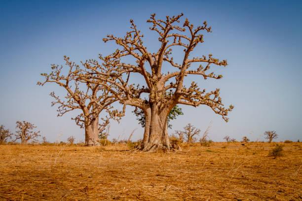 Massive baobab trees stock photo
