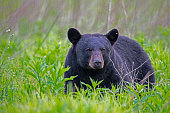 Black Bear in green grass.