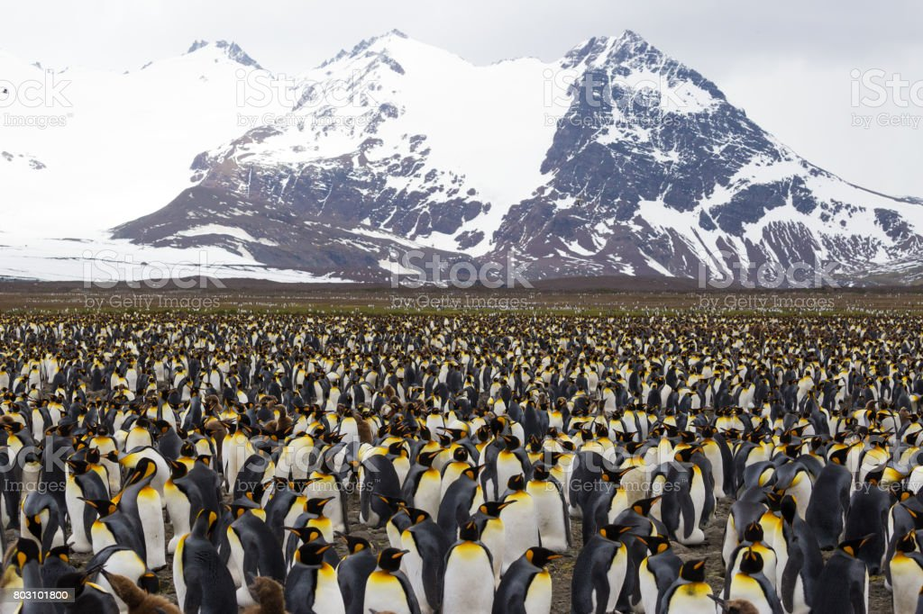 Massive colony of King Penguins stretches along a beach at South Georgia Island stock photo