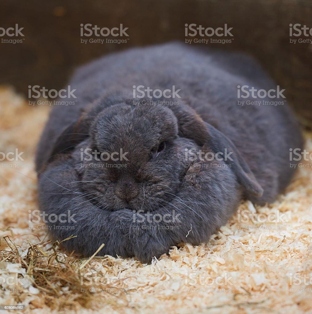 Massive dewlap on a fat sleeping rabbit stock photo