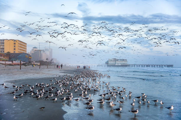 massive flock of seagulls in daytona beach, florida, usa - daytona 500 stock photos and pictures
