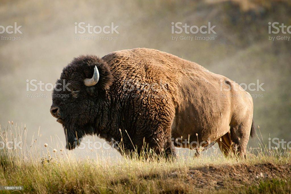 Massive Male Bison stock photo