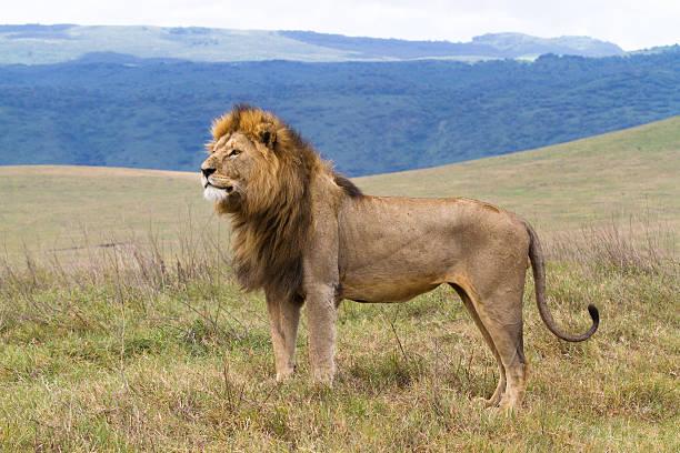 Massive male lion picture id153525643?b=1&k=6&m=153525643&s=612x612&w=0&h=qaqrsokl6lt4yuzwo7jkvh4 tuv1frv8i4x3rlt zba=