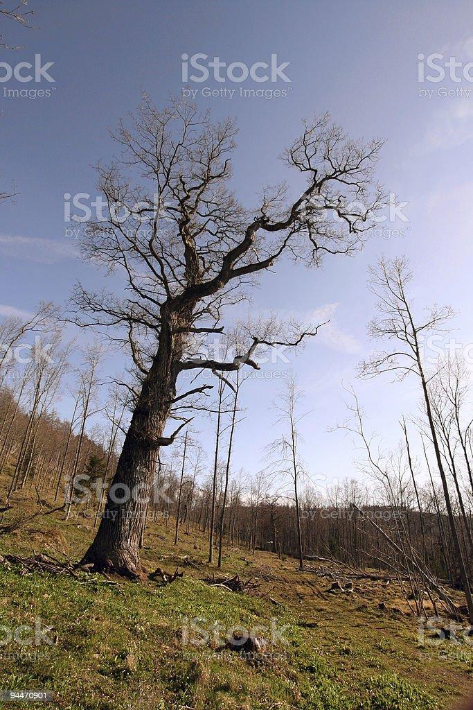 Massive Oak royalty-free stock photo