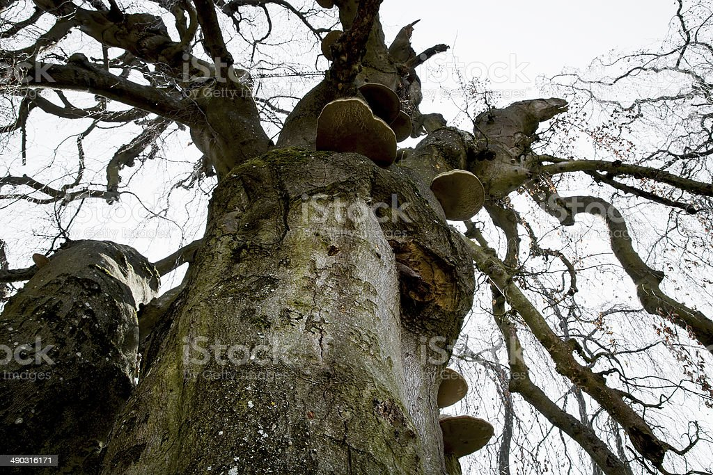 Massive old european beech (fagus sylvatica) royalty-free stock photo