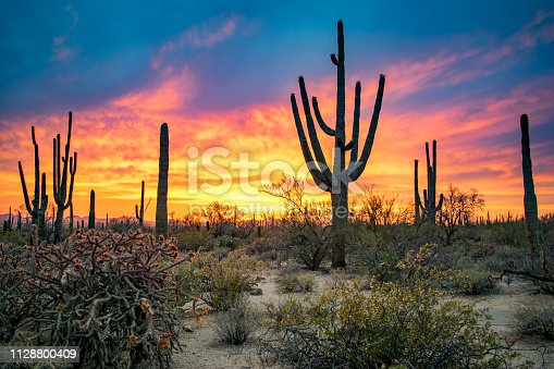 Cacti Forest in Saguaro National Park, Arizona, USA