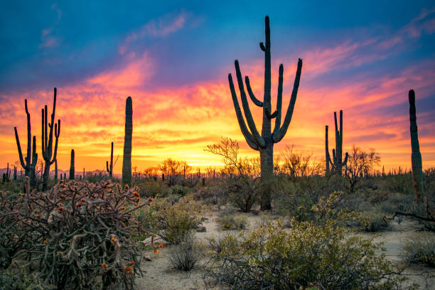 massive saguaros in sonoran desert at sunset - desert stock pictures, royalty-free photos & images