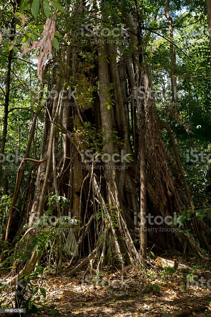 massive tree is buttressed by roots Tangkoko Park stock photo