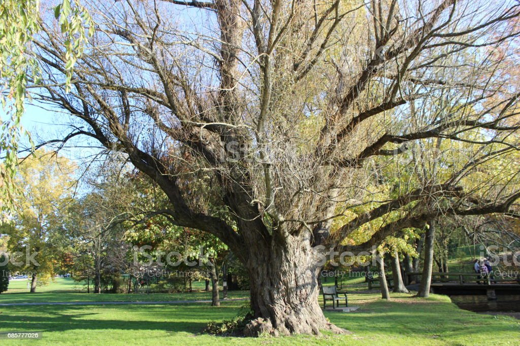 Massive Tree royalty-free stock photo