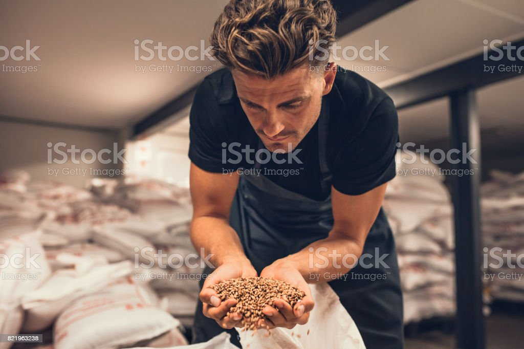 Master brewer checking the barley seeds stock photo