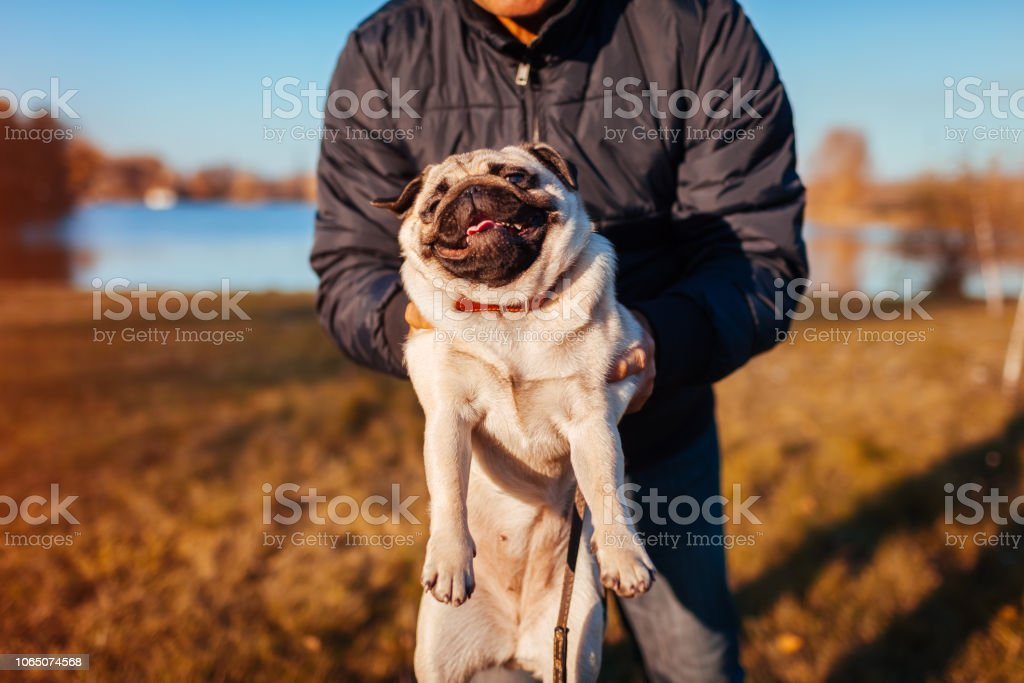 Master holding pug dog in autumn park by river. Man playing with pet...