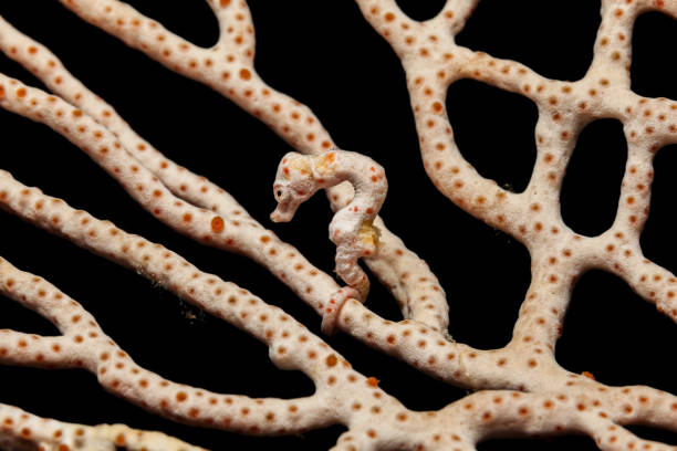 Master of Camouflage, Denise's Pygmy Seahorse Hippocampus denise, Raja Ampat, Indonesia stock photo