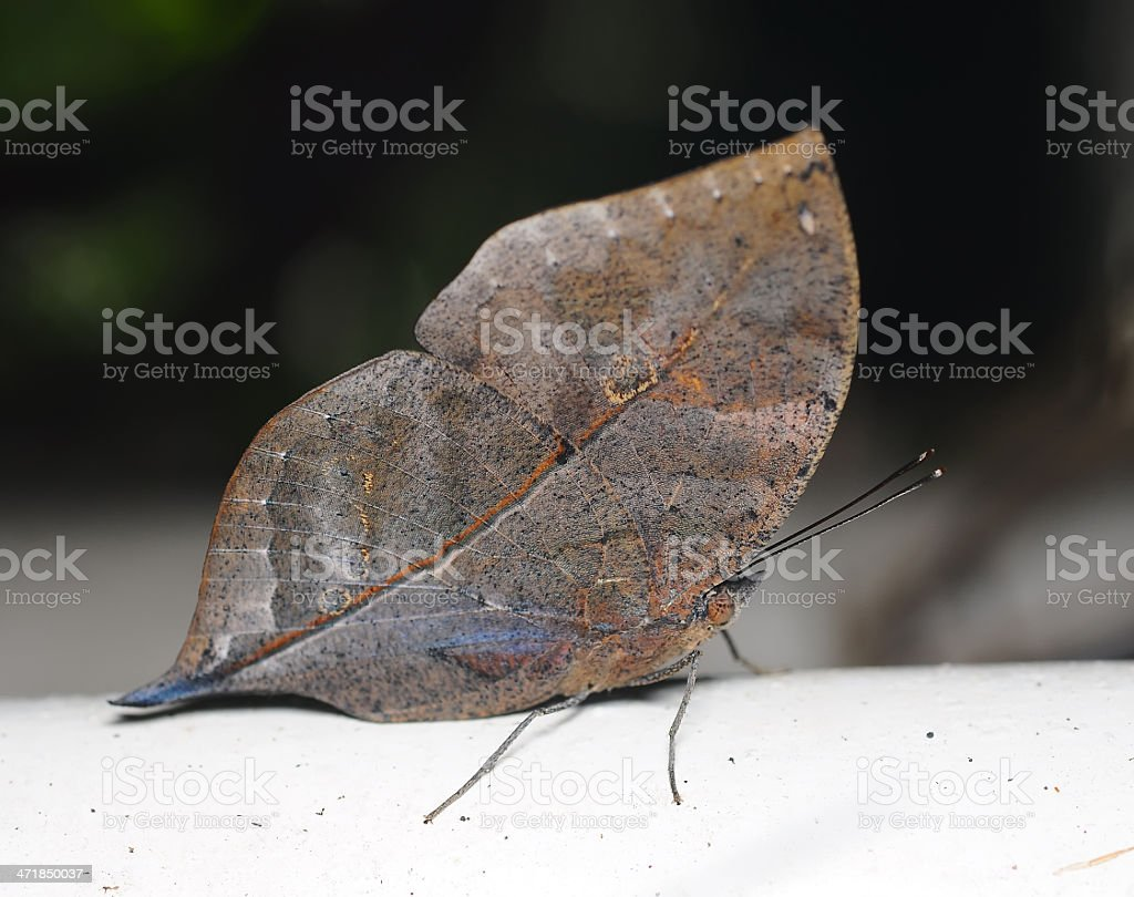 Master of disguise in the forest is a Special butterfly royalty-free stock photo