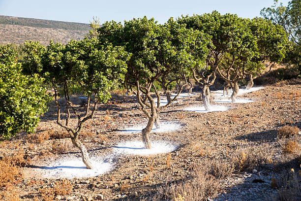 mastic tree garden in chios island, greece - ägäisches meer stock-fotos und bilder