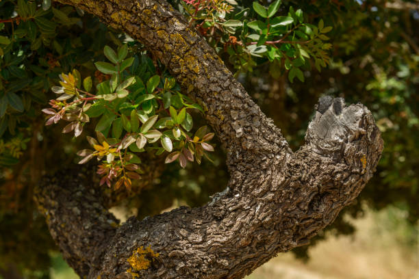 Mastic Tree in Chios, Greece stock photo