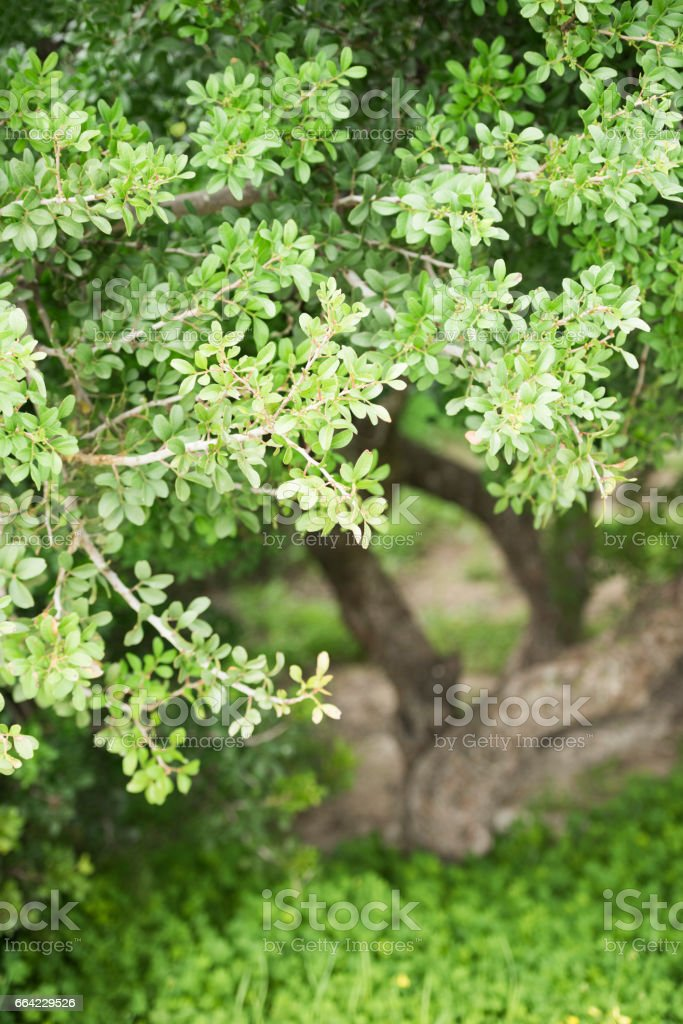 Mastic trees in field of fresh grass and spring flowers royalty-free stock photo