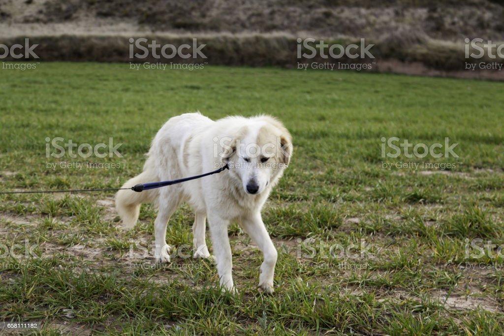 Mastiff dog field royalty-free stock photo
