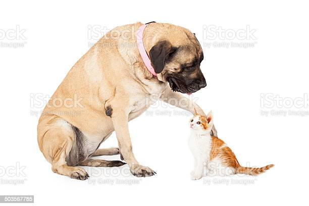 Mastiff dog playing with kitten picture id503567785?b=1&k=6&m=503567785&s=612x612&h=q 943jzt34v b0jfghlizolq9h7av7er1b v7zlycye=