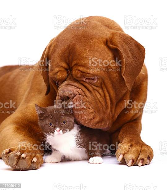 Mastiff from bordeaux and a small kitten picture id179059412?b=1&k=6&m=179059412&s=612x612&h=gpdoodrymfsujumdxzm3y5seqqzwcax2pqfh3zatile=