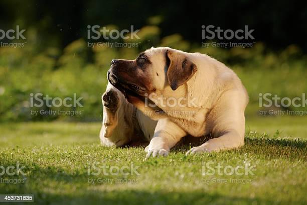 Mastiff in garden picture id453731835?b=1&k=6&m=453731835&s=612x612&h=14drud9ijsq kmnsxtrjhqbt1mophqx2zwkxwdyhdje=