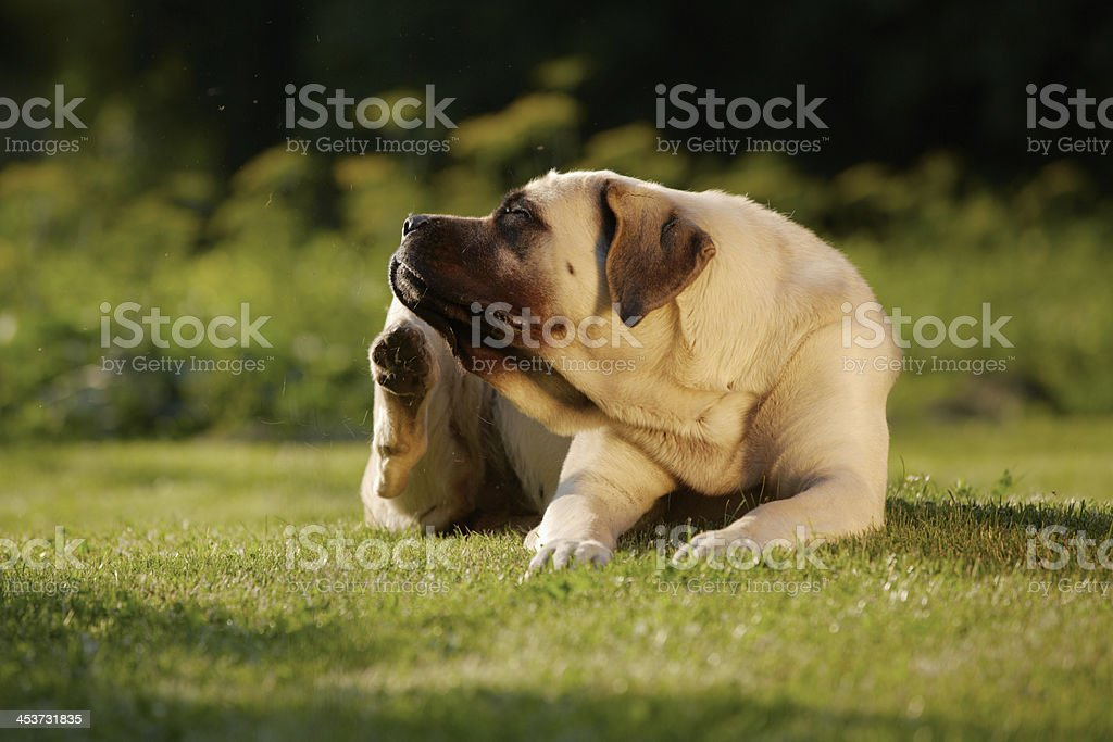 Mastiff in garden stock photo