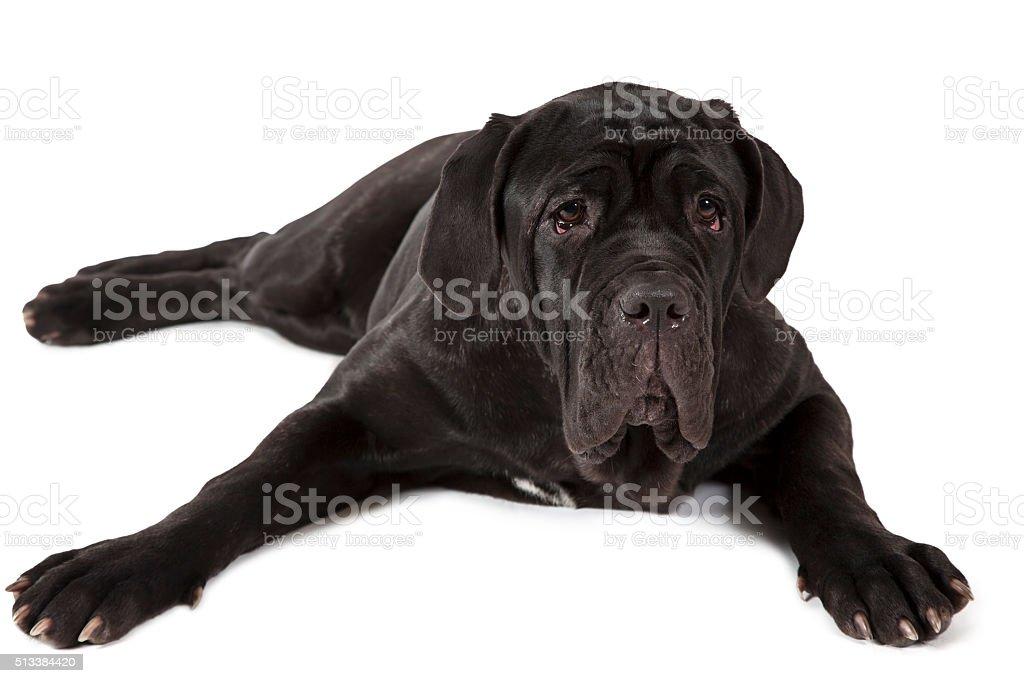 Mastiff neopolitano dog stock photo