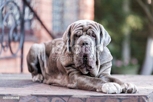 Dog Neapolitane Mastiff