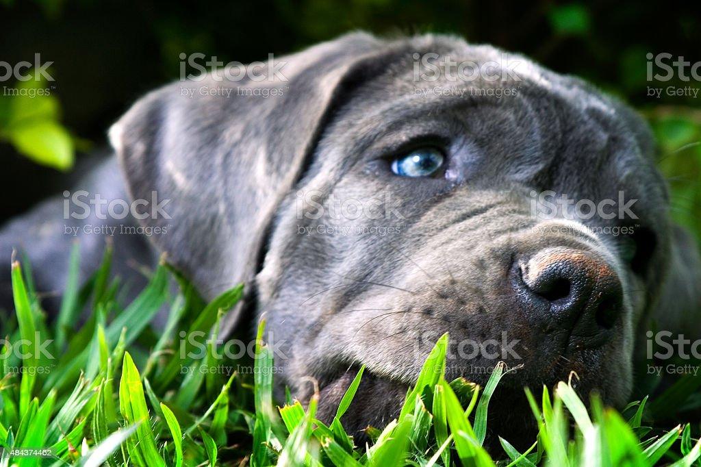 Mastino Napoletano Puppy Close-Up stock photo