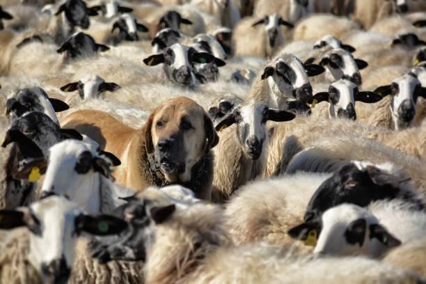 Mastín y ovejas - foto de stock