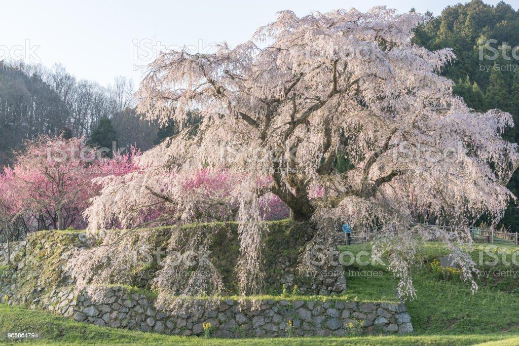 Matabei sakura - Royalty-free April Stock Photo