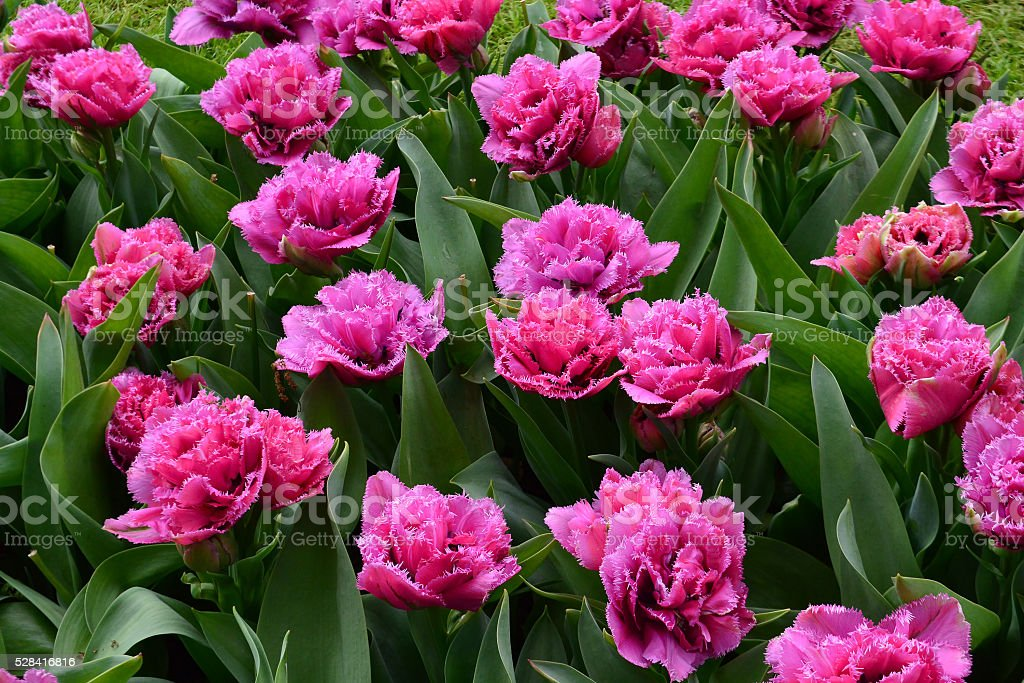 Matchpoint tulipa stock photo