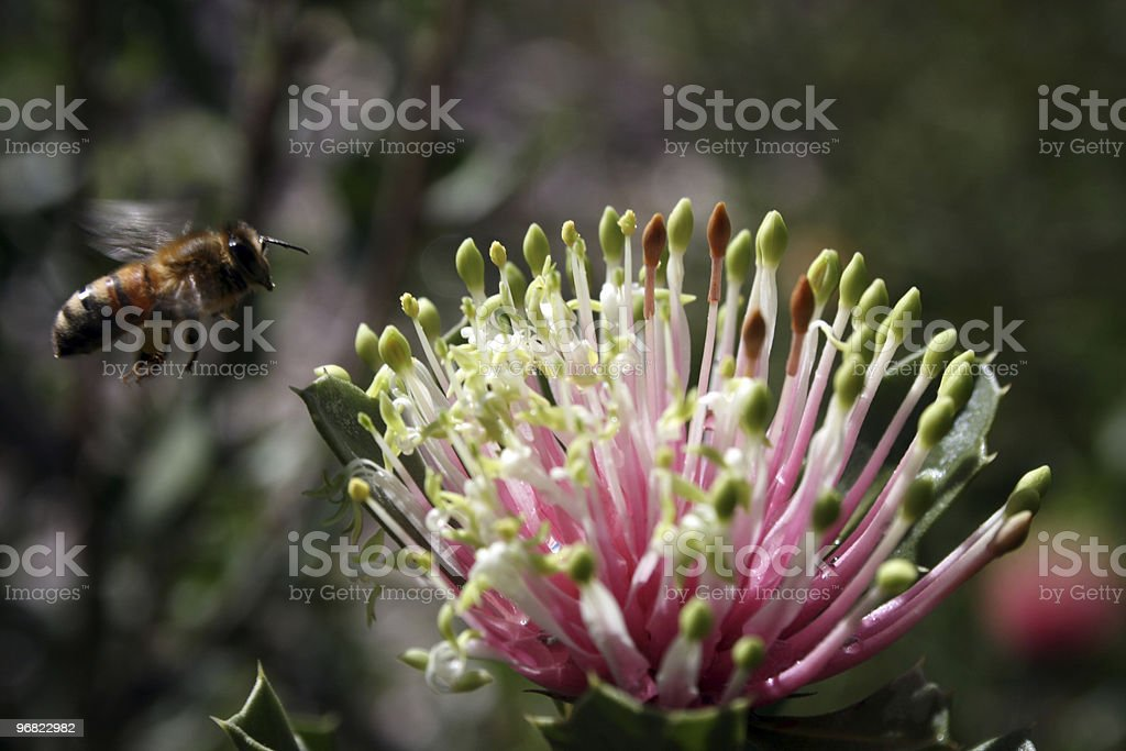 Matchstick Banksia plus Bee stock photo