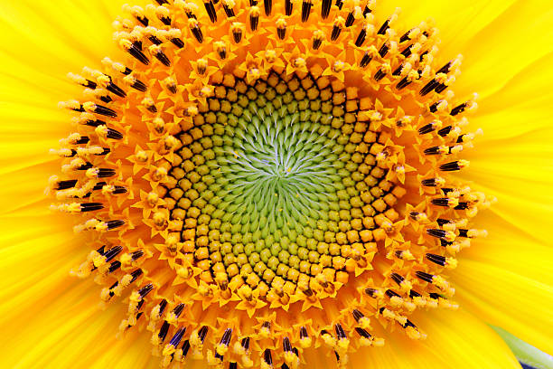mathematical center of a sunflower - 重複螺旋型 個照片及圖片檔