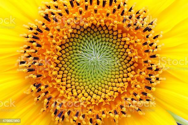 Photo of Mathematical center of a sunflower