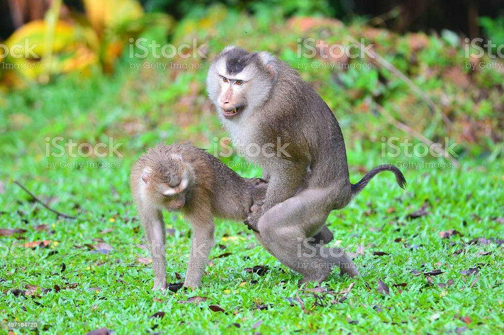 Mating a monkey stock photo