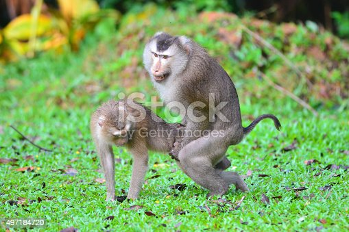 Mating A Monkey Stock Photo & More Pictures of 2015   iStock