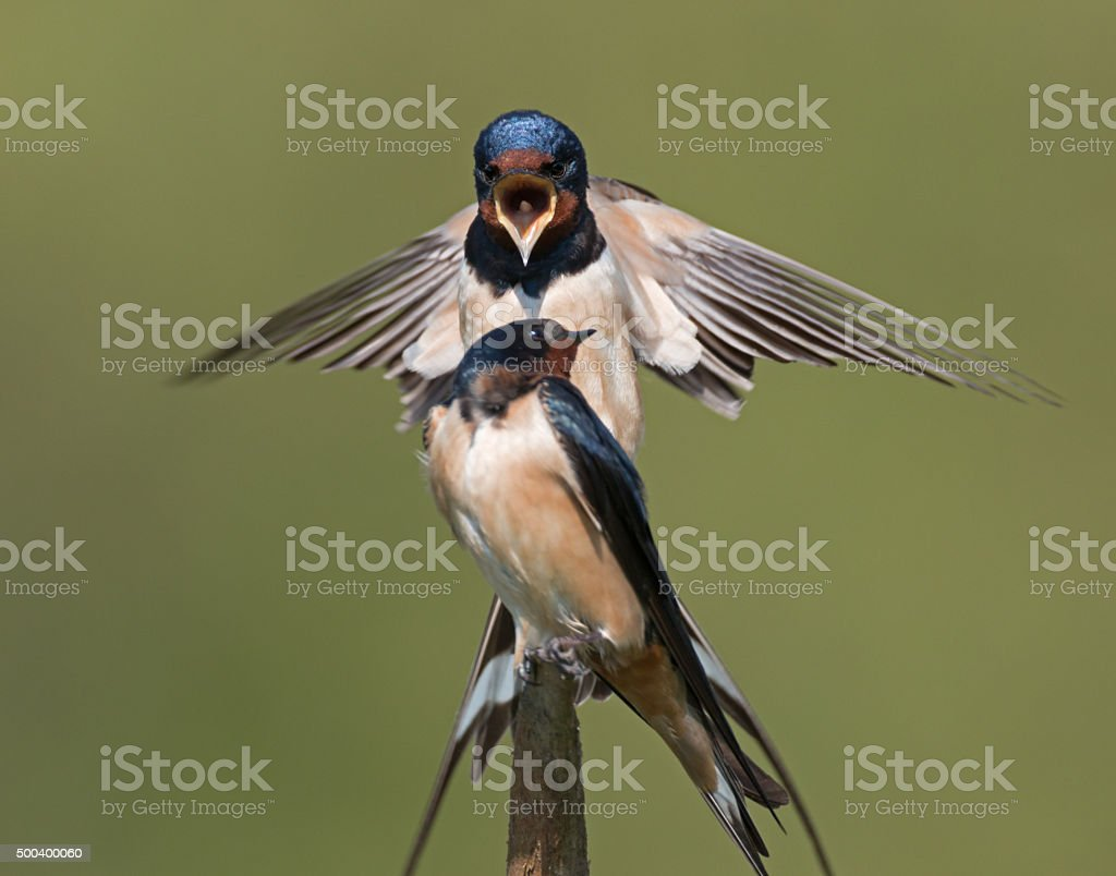 Mating barn swallows (Hirundo rustica) stock photo
