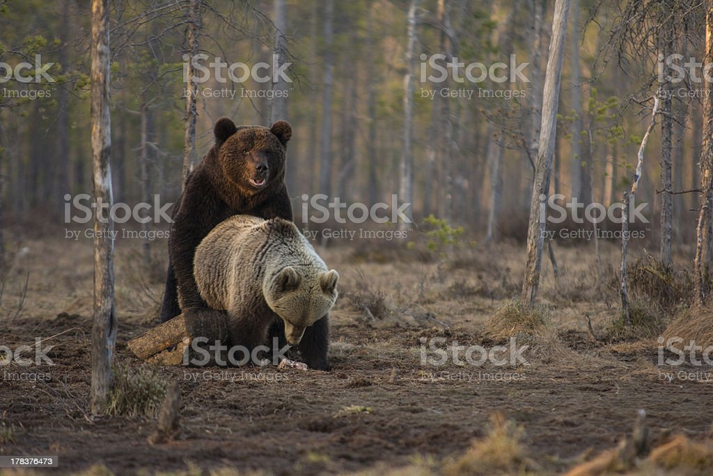 Mating bears stock photo