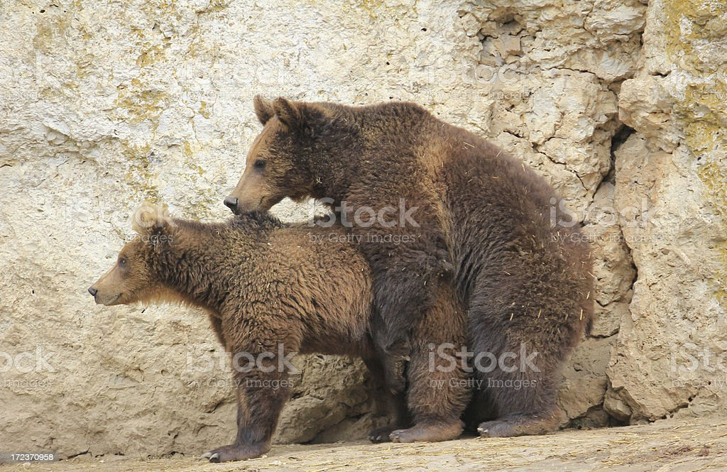 Mating Brown Bears royalty-free stock photo
