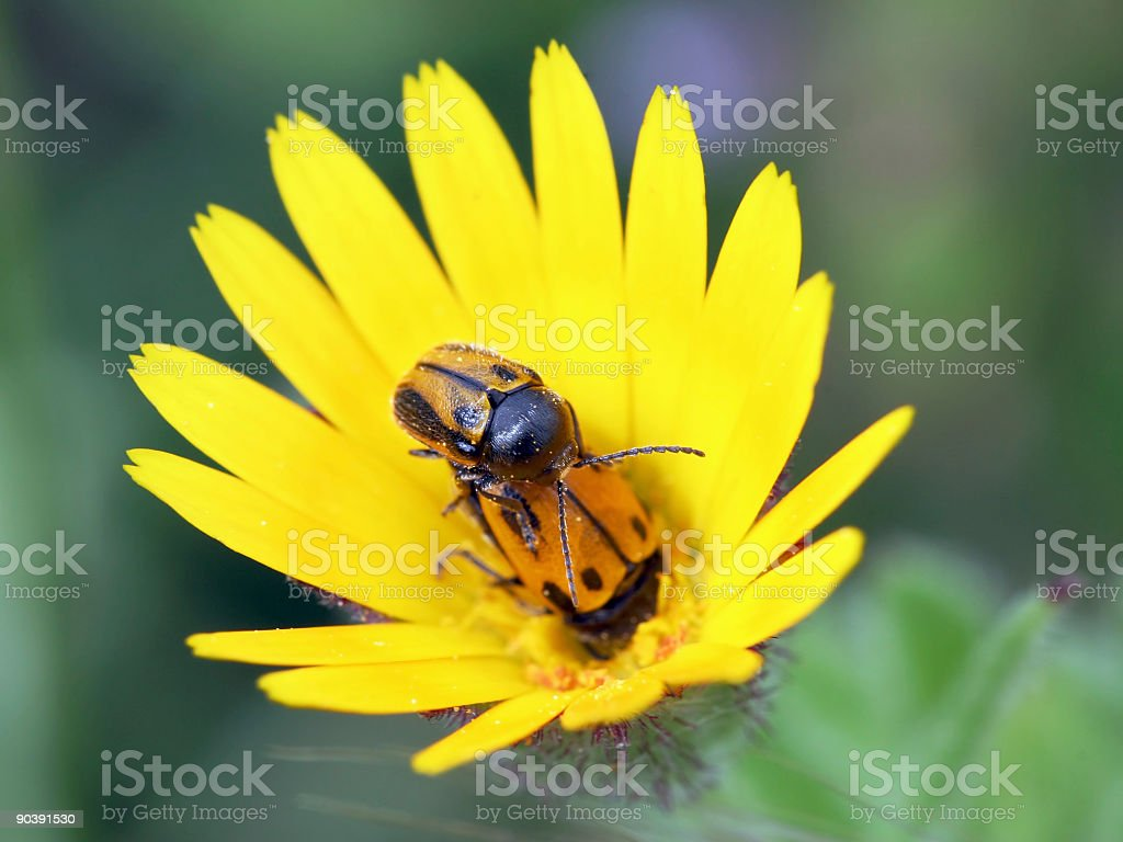 Mating bugs stock photo