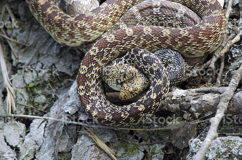 Mating Bull Snakes stock photo