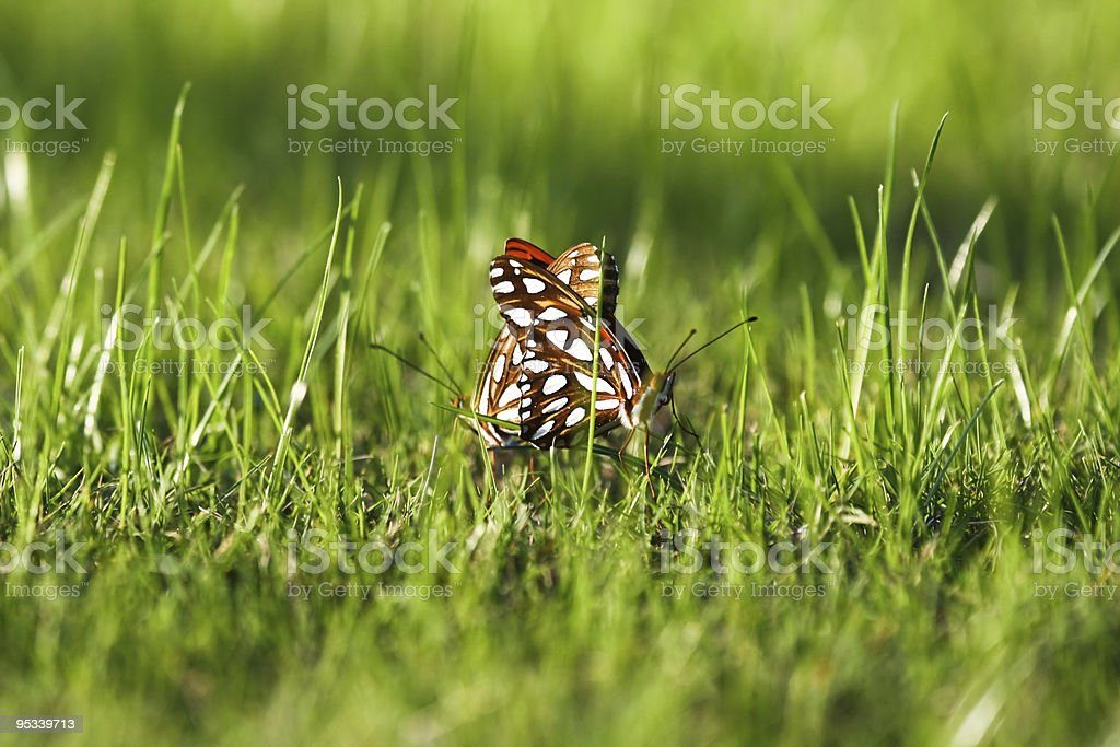 Mating Butterflies stock photo