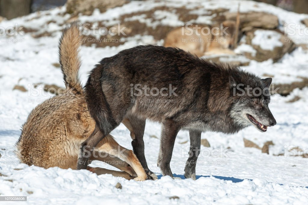 Mating Canadian Timberwolves Stock Photo Download Image Now Istock