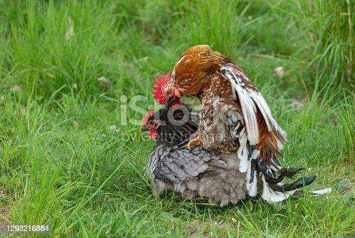 istock Mating chicken 1293216884
