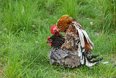 Swedish flower hen rooster mating with an Orpington hen.
