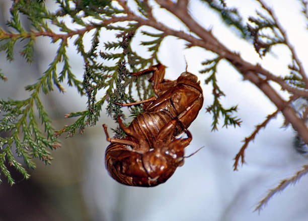 Mating Cicadas Shed Skins Simultaneously