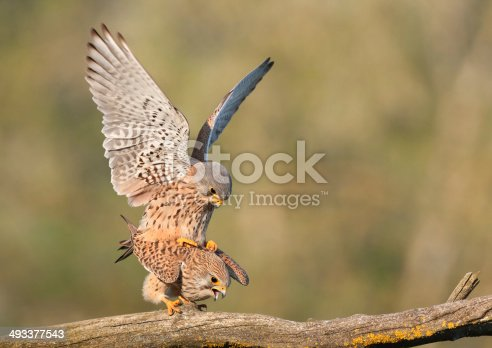 Mating Common Kestrels (Falco tinnunculus)